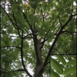 View of  Phellodendron Amurense from below